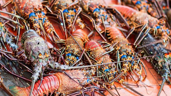 Spiny lobster typical of Galapagos