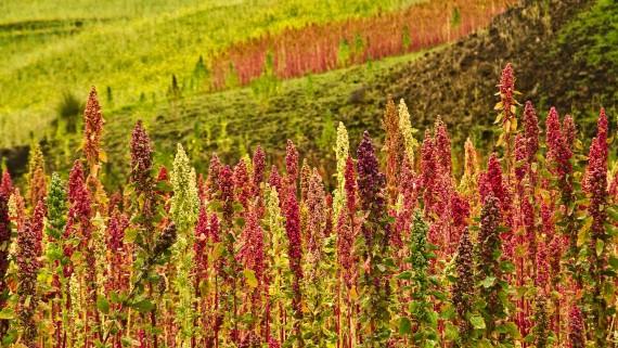 Quinoa plantation in Chimborazo, Ecuador