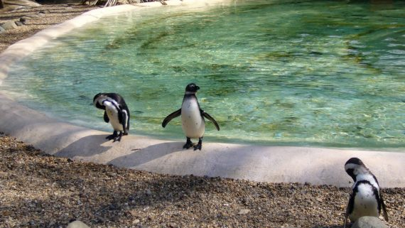 Penguins at the London Zoo ZSL