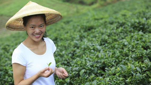 La culture du thé vert en Chine