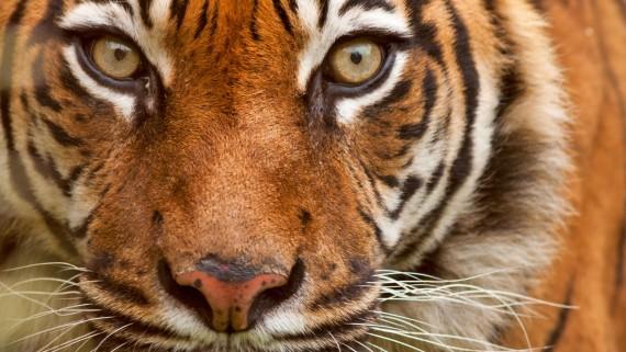 L'esprit du tigre dans la tradition chinoise