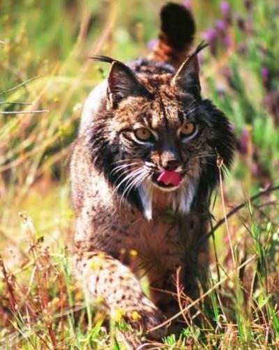 Lynx in Doñana
