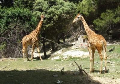 aitana the safari