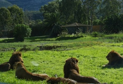 safari vergel lions